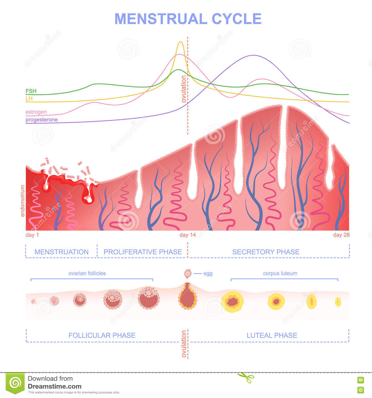 scheme of the menstrual cycle stock vector illustration of obstetrics menstruation 72606589. Black Bedroom Furniture Sets. Home Design Ideas