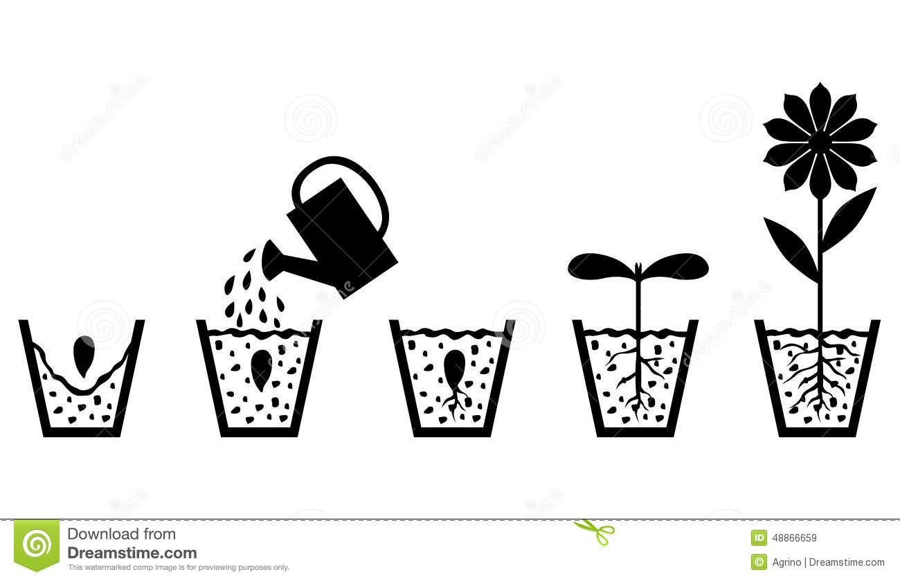 scheme of plant growth from seed to flower stock vector