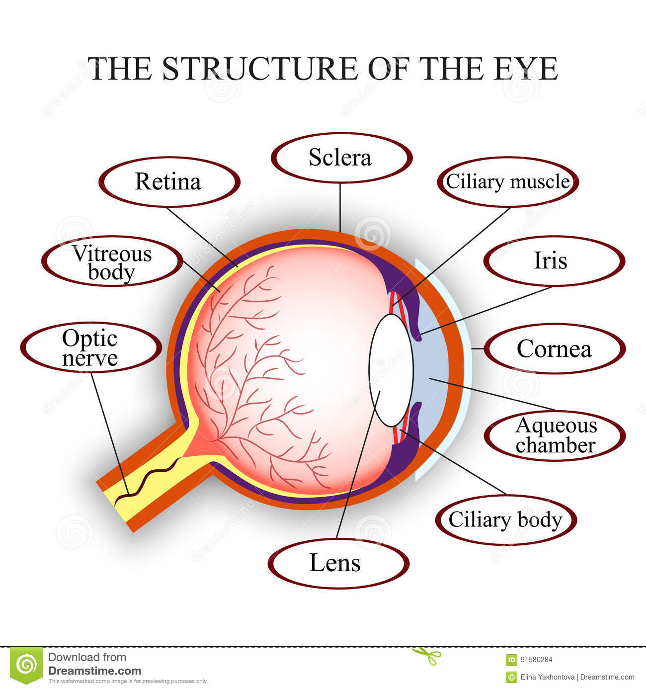 Scheme the structure of the human eye. Vector illustration.