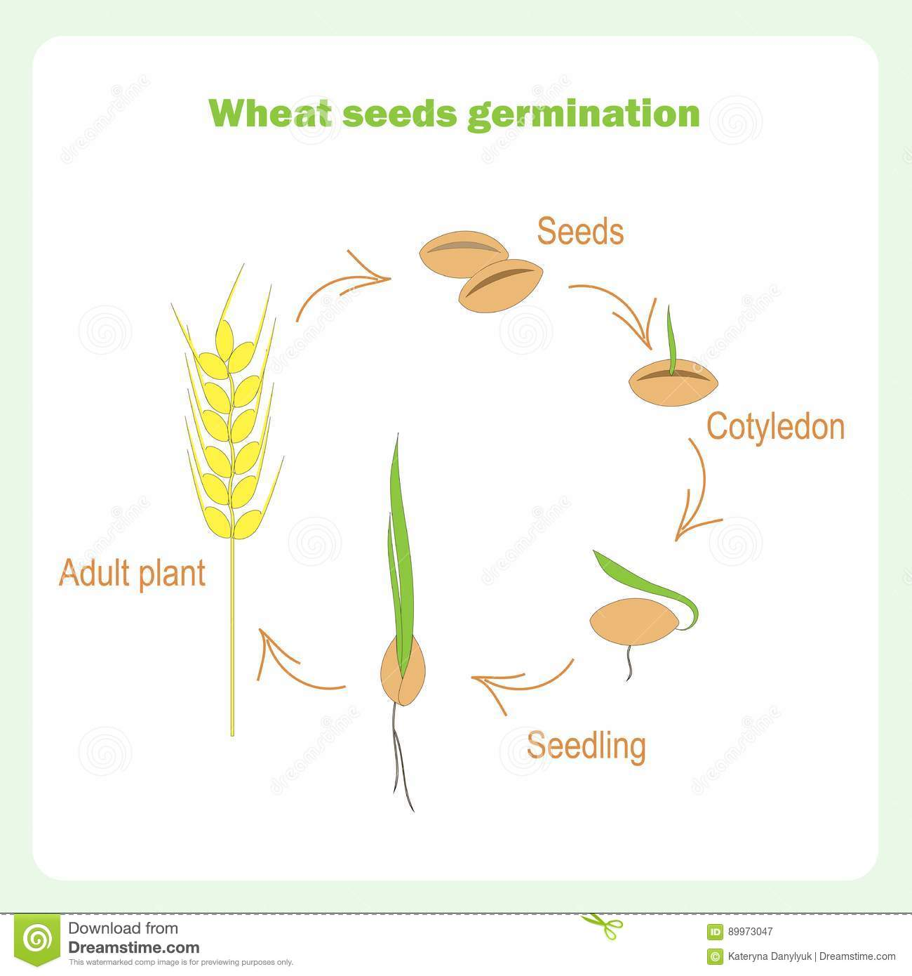 Germination Stock Illustrations 1435 Seed Diagram Of Related Keywords Scheme Wheat Learning Biology Vector Illustration