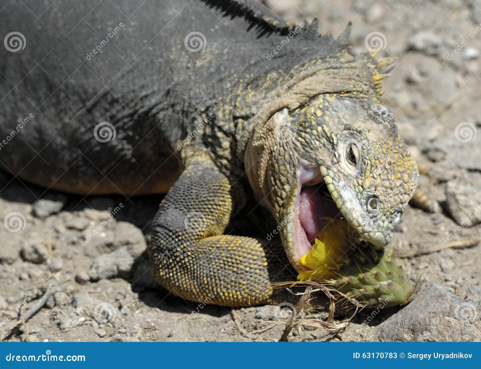Scherpe maaltijd de landleguaan die vijgcactus eten de galapagos landen leguaan conolophus - Eiland maaltijd ...