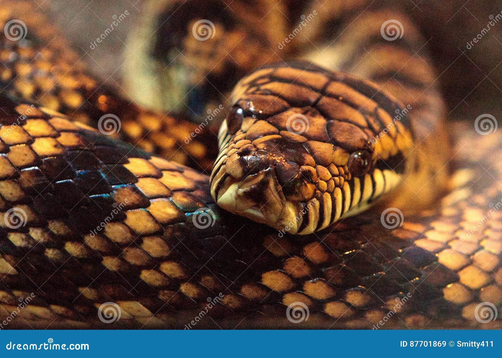 Scheuern Sie Pythonschlange bekannt als Morelia-amethistina