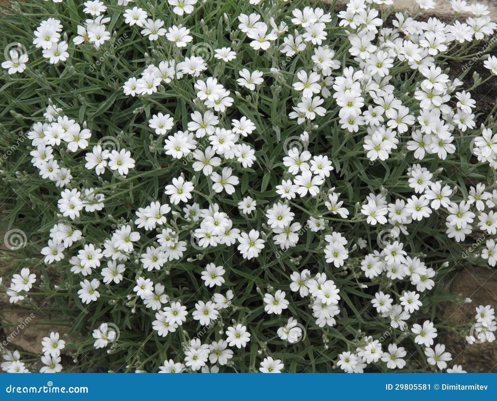 Molti piccoli fiori bianchi immagine stock immagine for Fiori piccoli bianchi