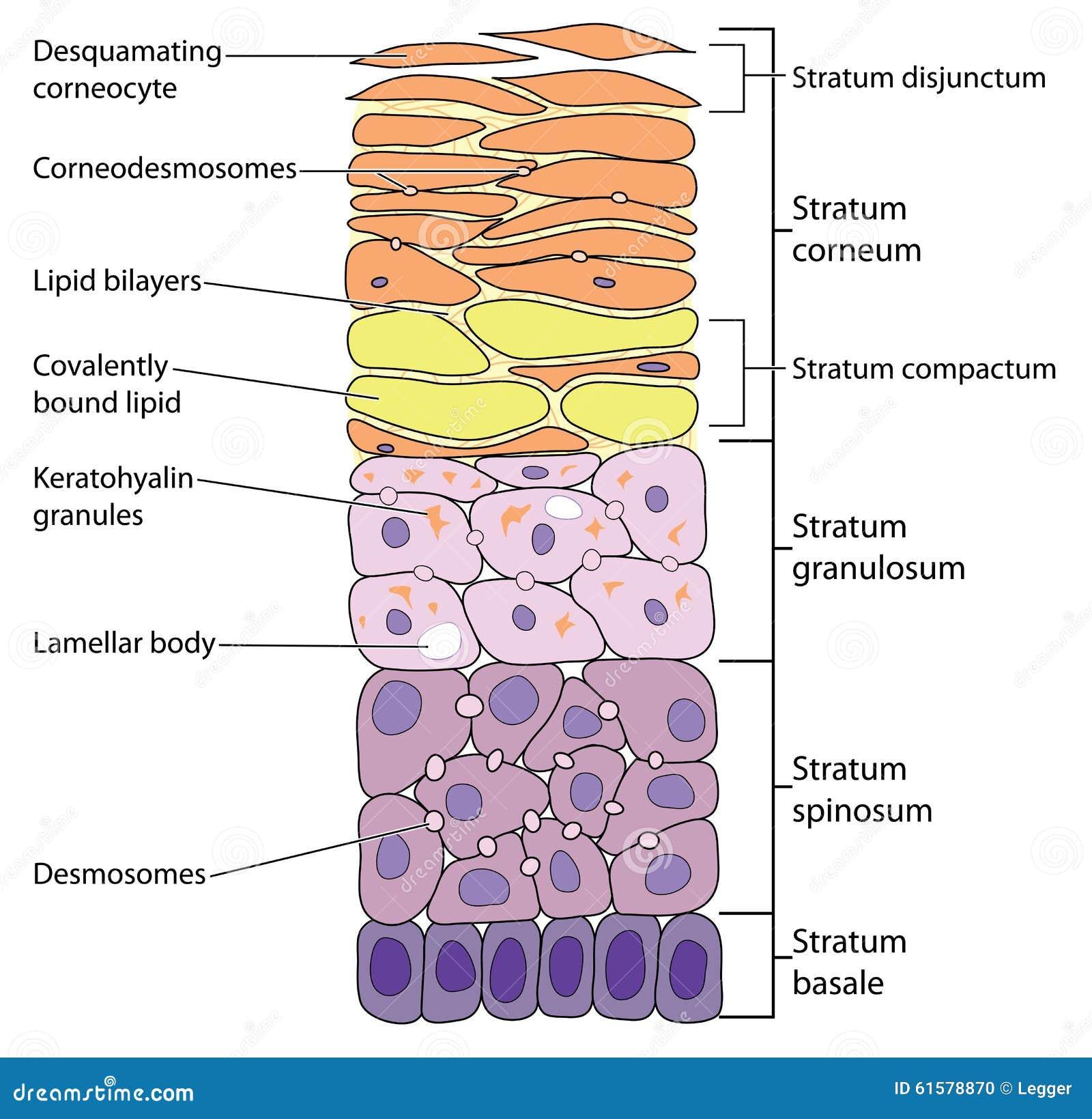 Schichten Der Haut Vektor Abbildung Bild 61578870