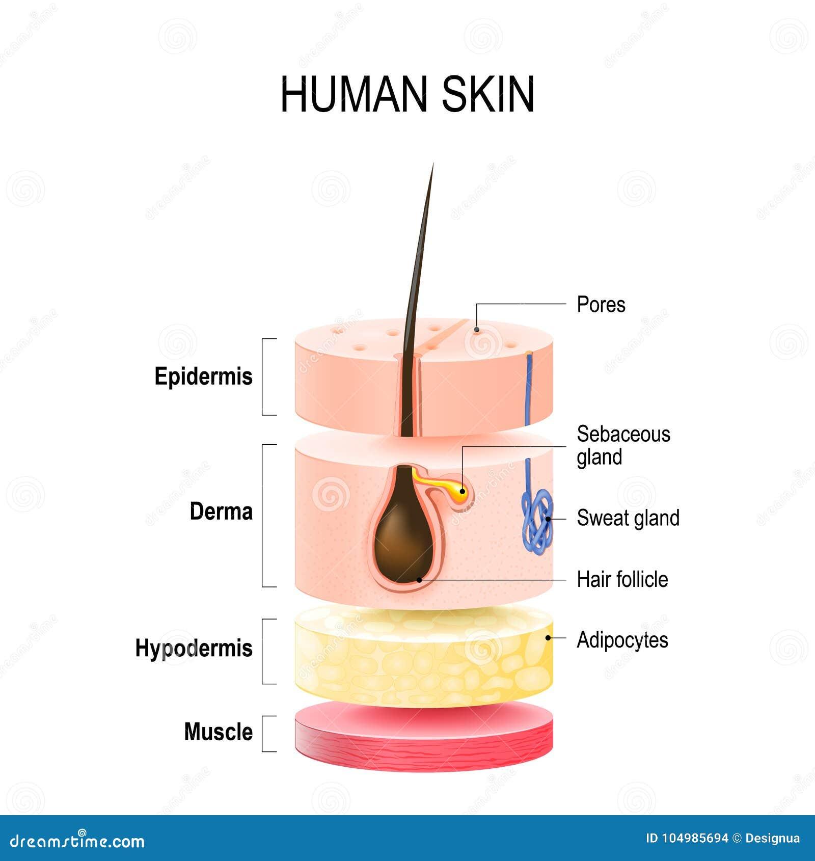 Schichten menschliche Haut