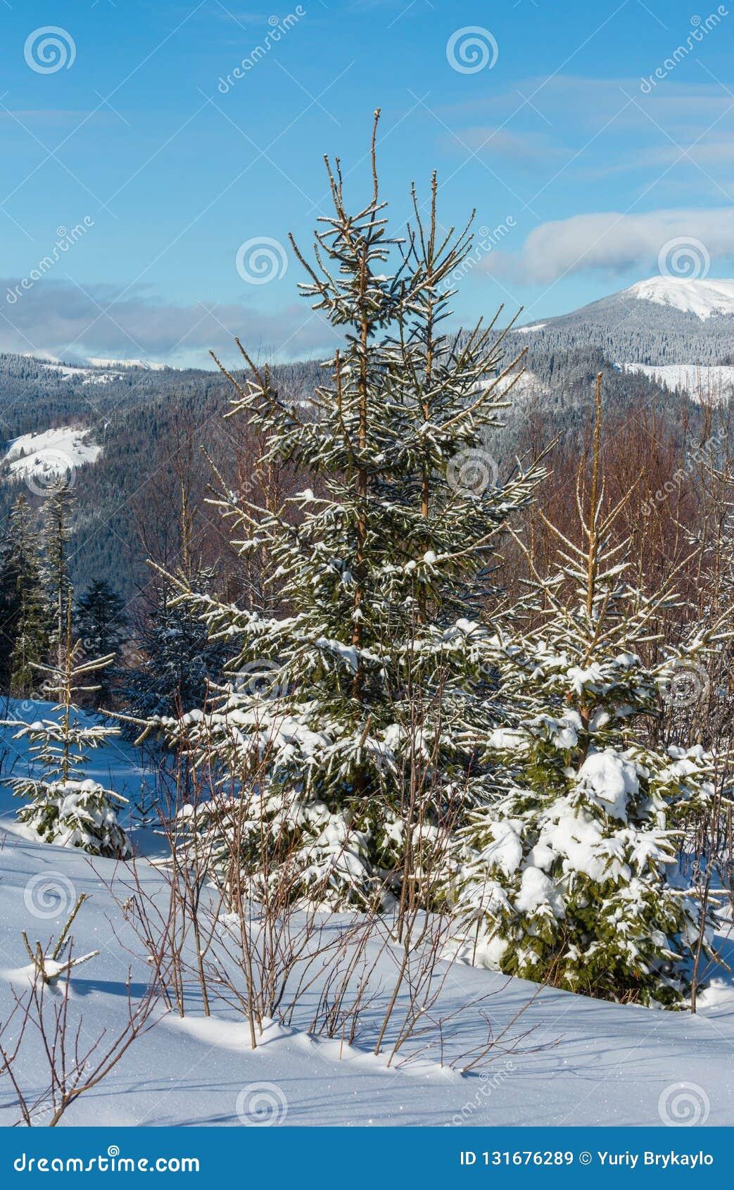 Schilderachtige de bergenmening van de de winterochtend van jonge spar en berk bos de berg alpiene helling van Skupova, Verkhovyn