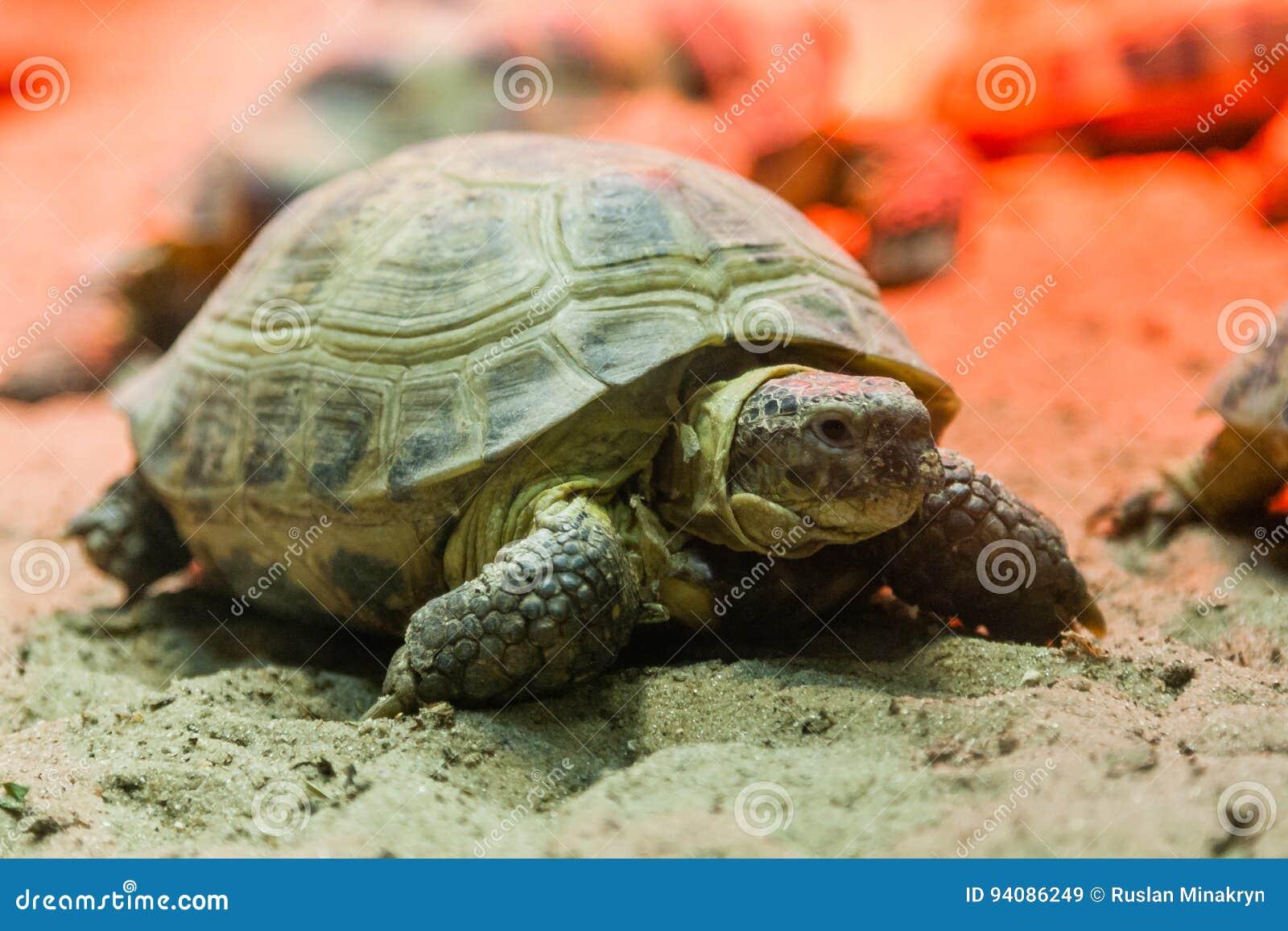 Schildkröte, die auf Sand geht