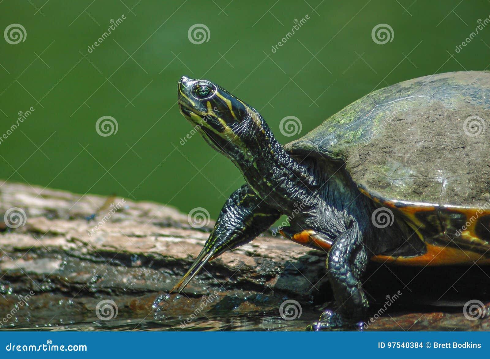 Schildkröte, die heraus an einem Klotz hängt!