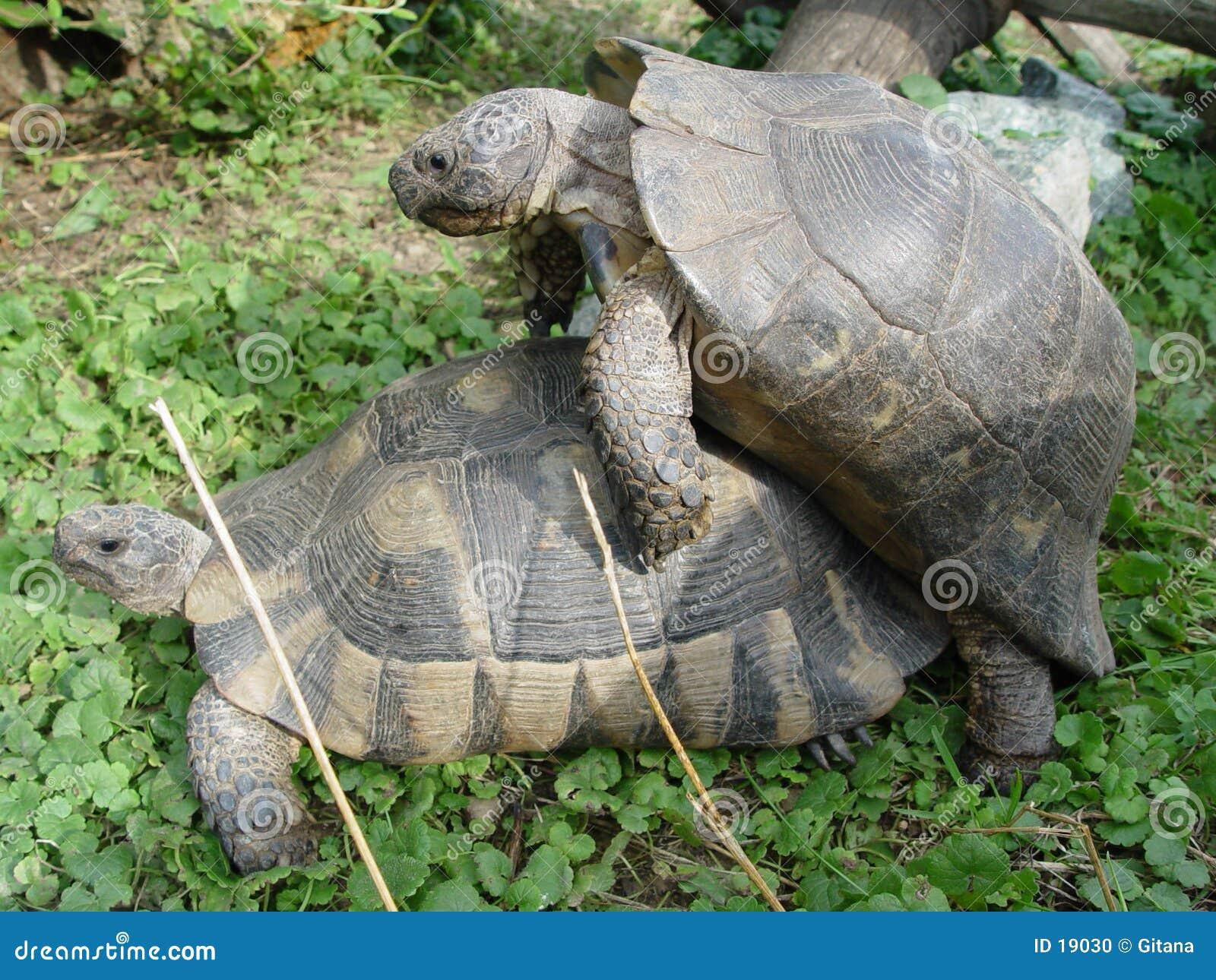 Schildkröte am sexuellen Verkehr