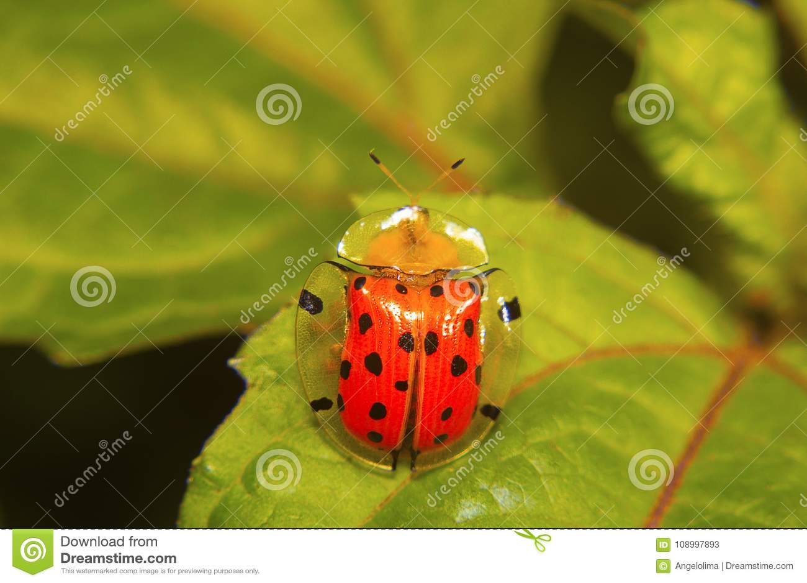Schildkröte Shell Beetle Aspidomorpha-miliaris Aarey-Kolonie, Mumbai, Maharashtra