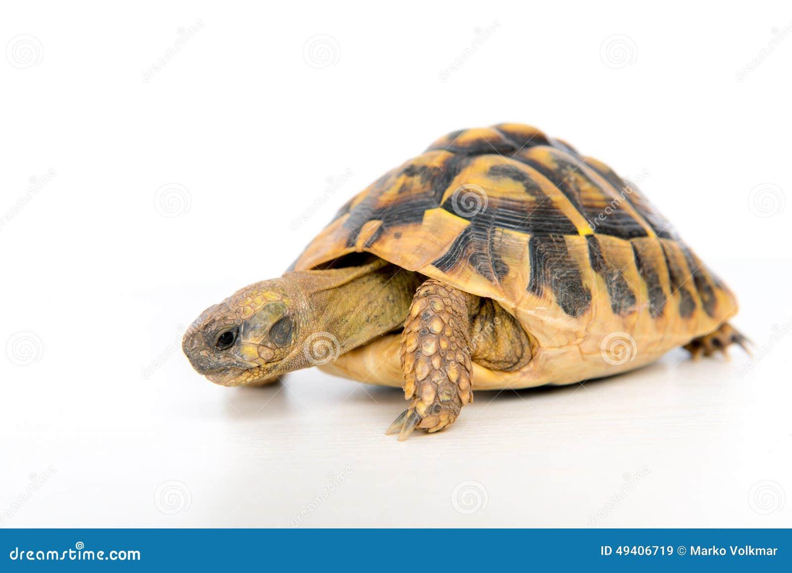 Download Schildkröte Vor Weißem Hintergrund Stockbild - Bild von geschöpf, portrait: 49406719