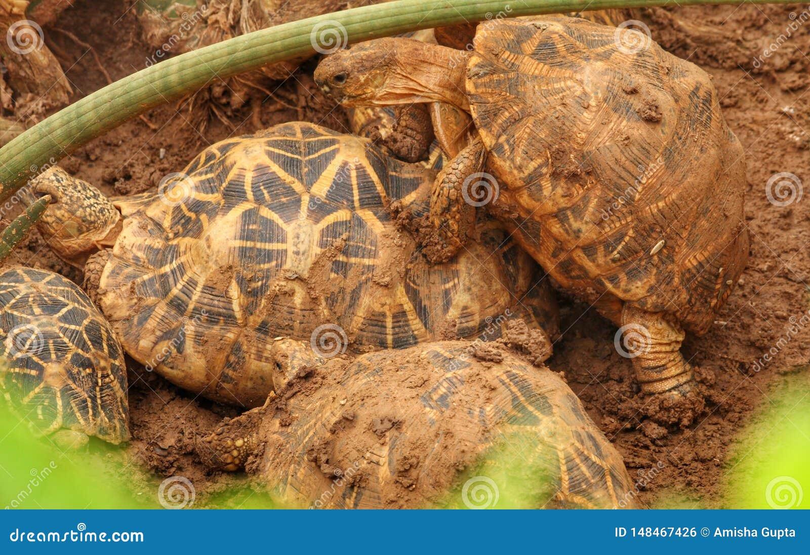 Schildkröten in der Decksaison