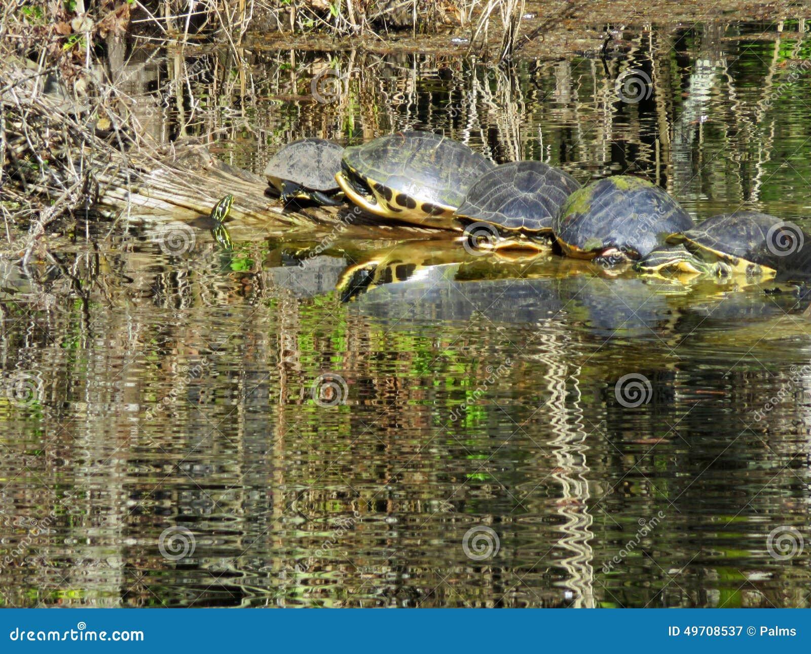 Schildkröten, die auf einem laog sich sonnen