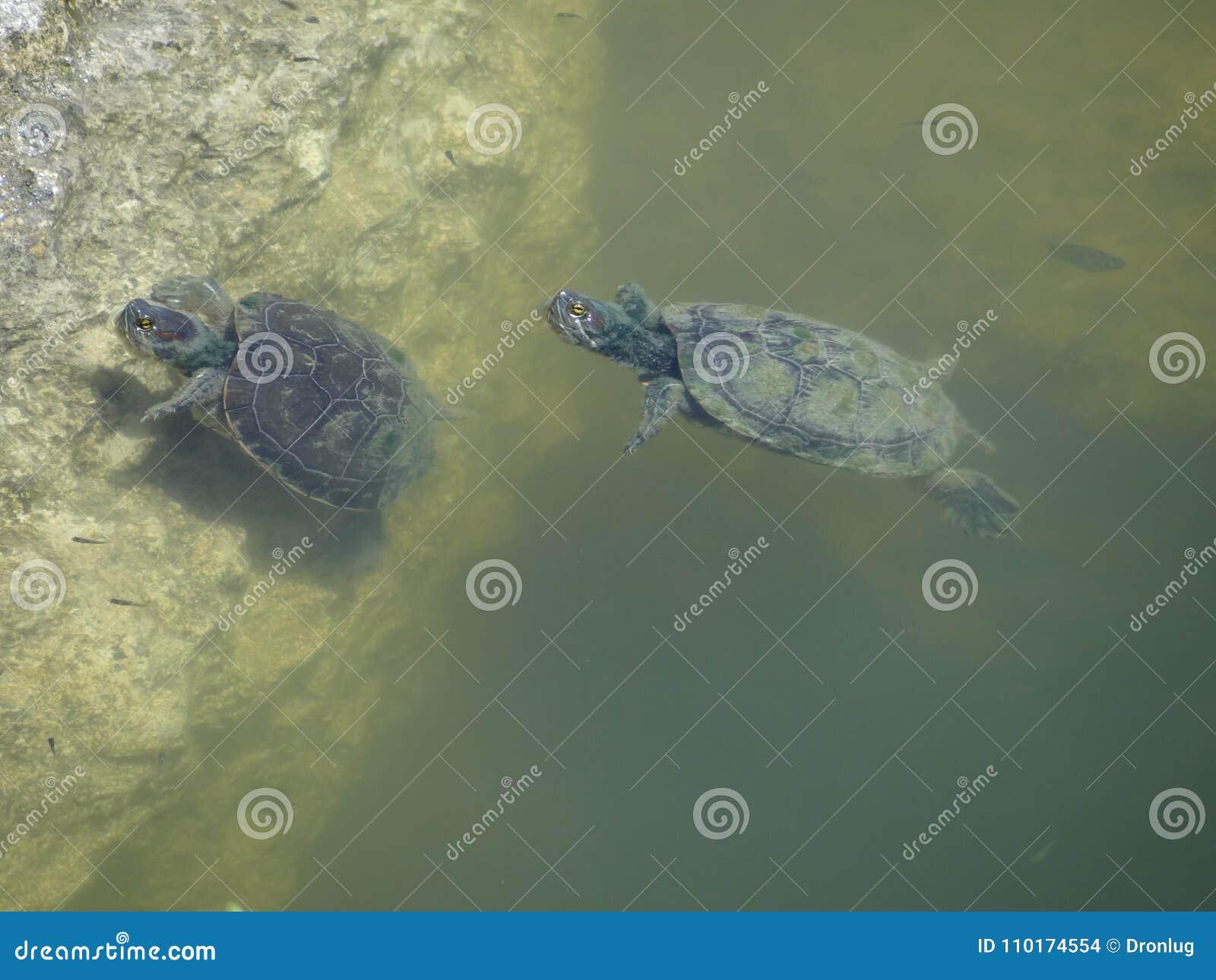 Schildkröten, die in der Lagune schwimmen