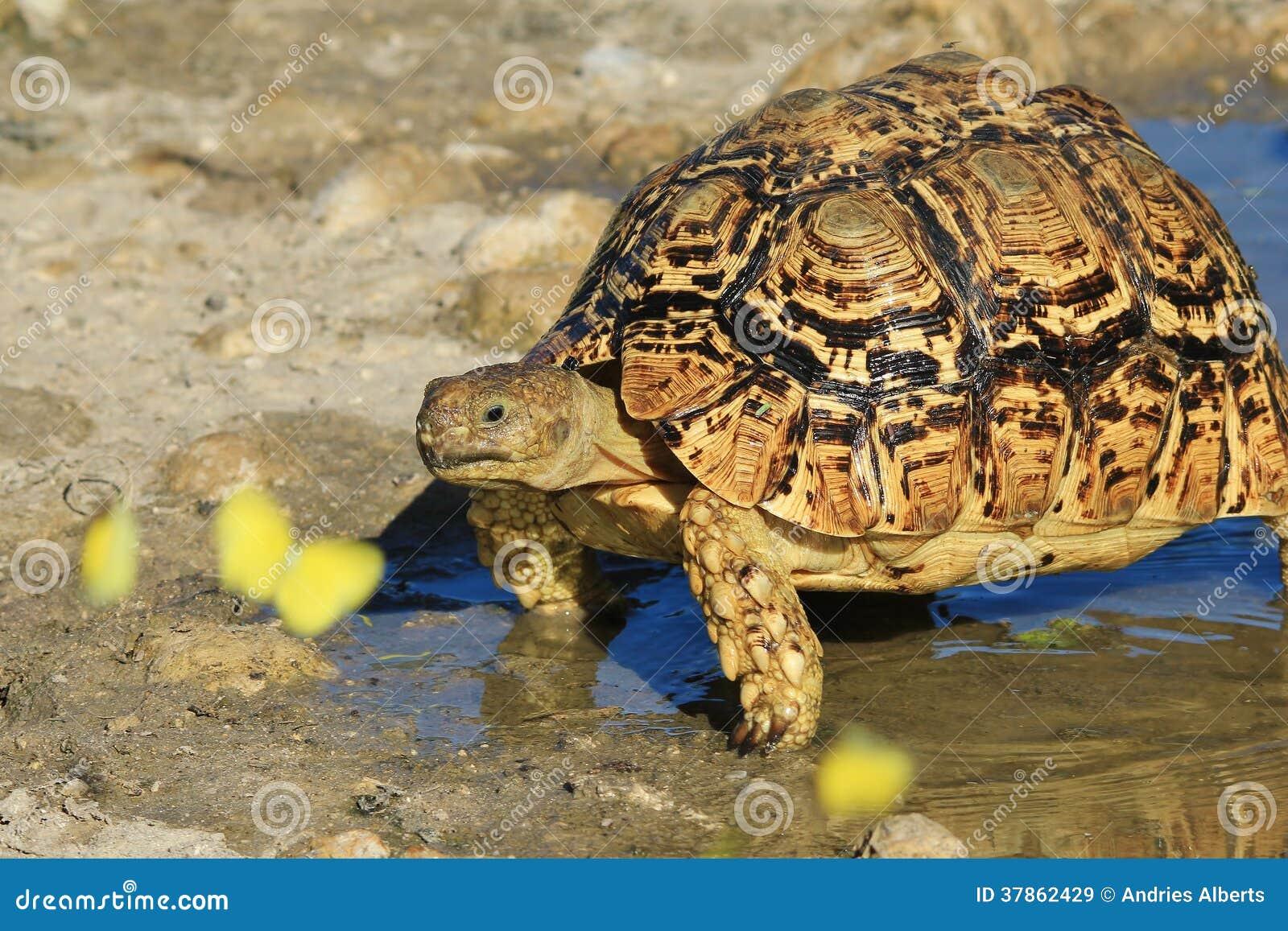 Schildkröten-Hintergrund - Afrikanische Farben Der Wild Lebenden ...