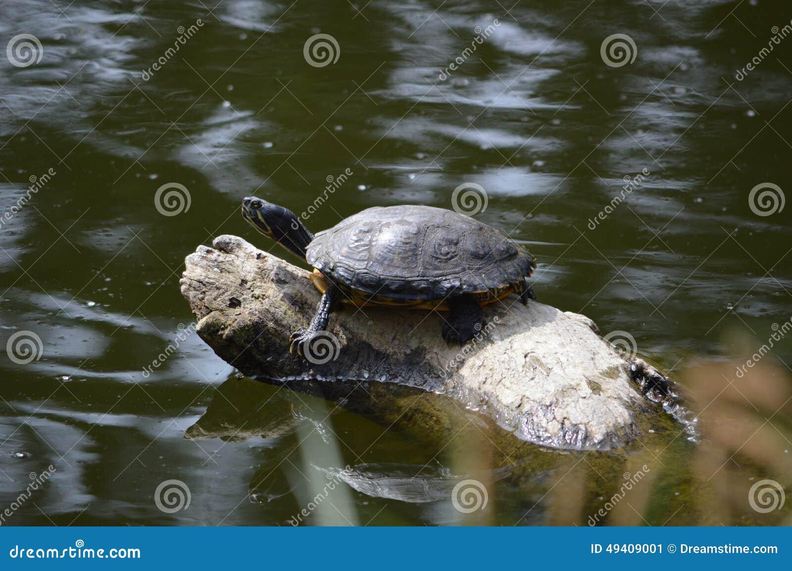 Download Schildkroete stockbild. Bild von schildkroete, schildkröten - 49409001