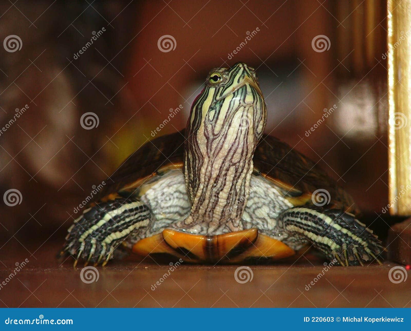 Schildpad #2