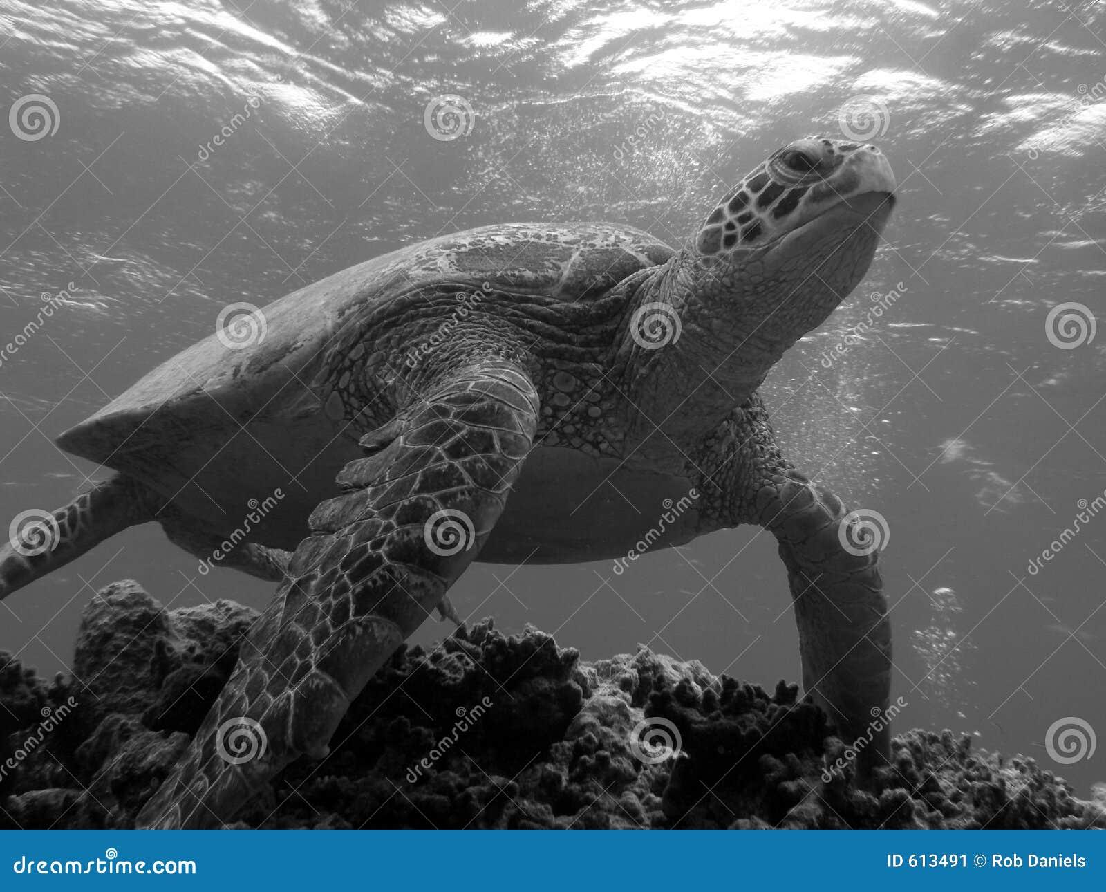 Schildpad die Bommie verlaat