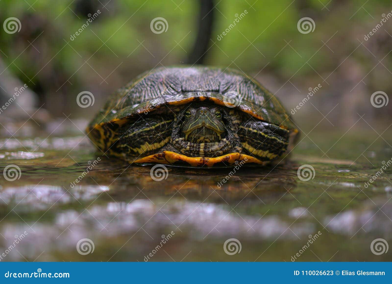Schildpad in een stroom