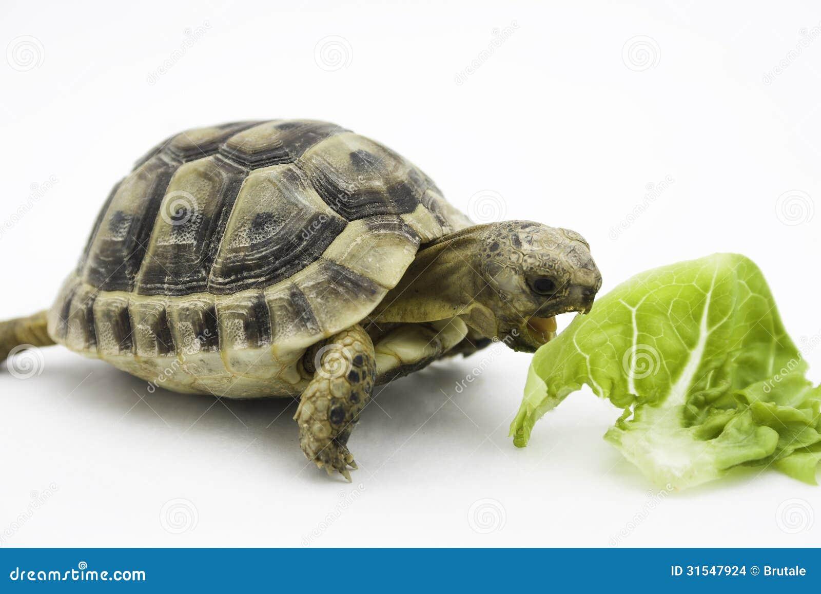 Schildpad for Oggetti per tartarughe