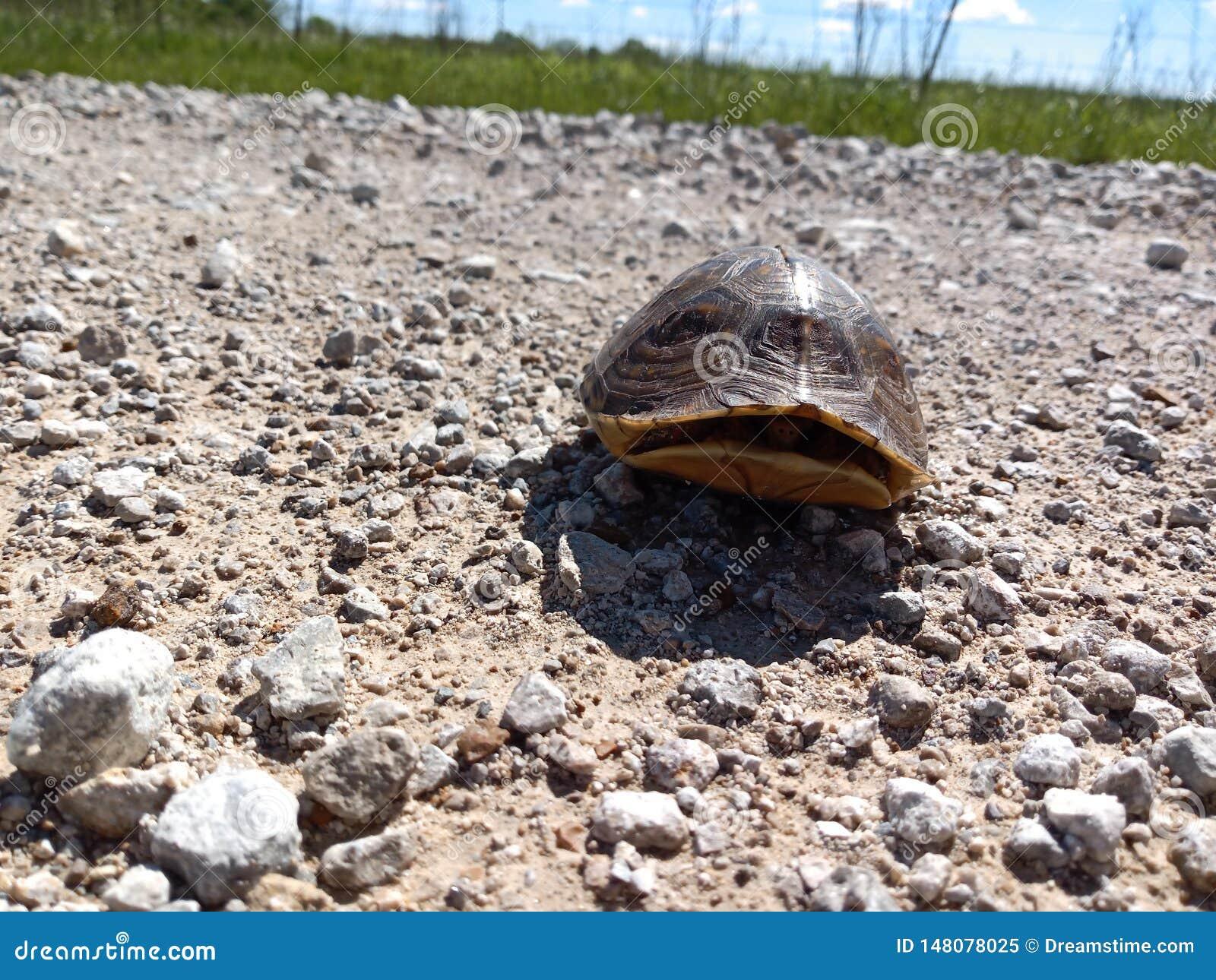 Schildpad op een Landweg