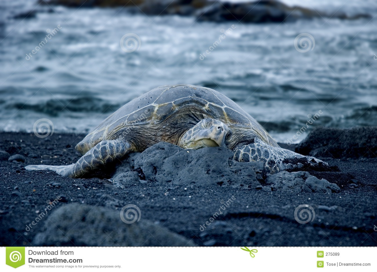 Schildpad op zwart zandstrand