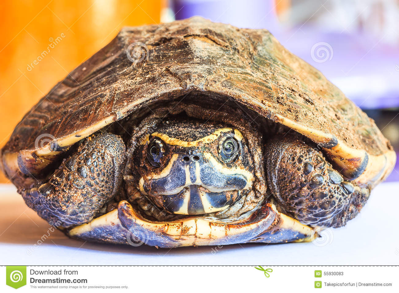 Schildpad in shell