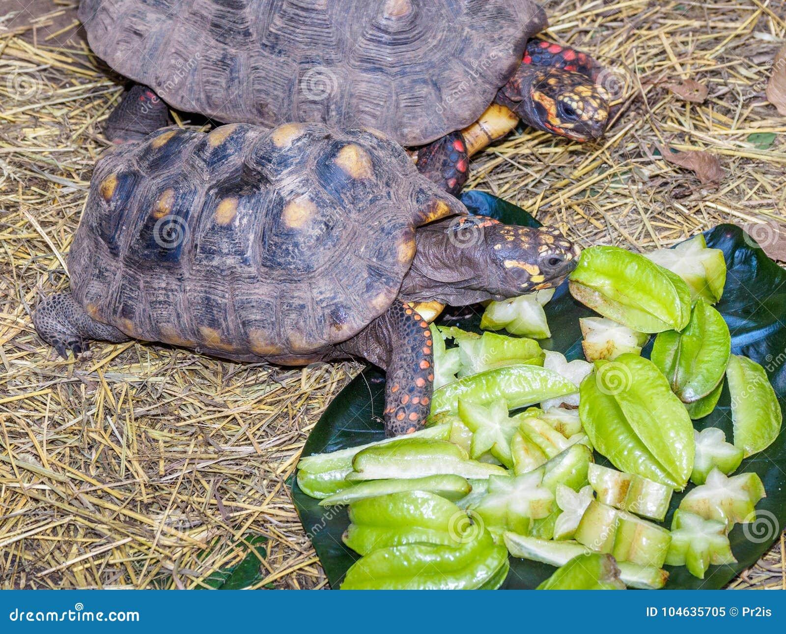 Download Schildpadden Die Op Sterfruit Voeden Stock Afbeelding - Afbeelding bestaande uit schildpadden, gras: 104635705