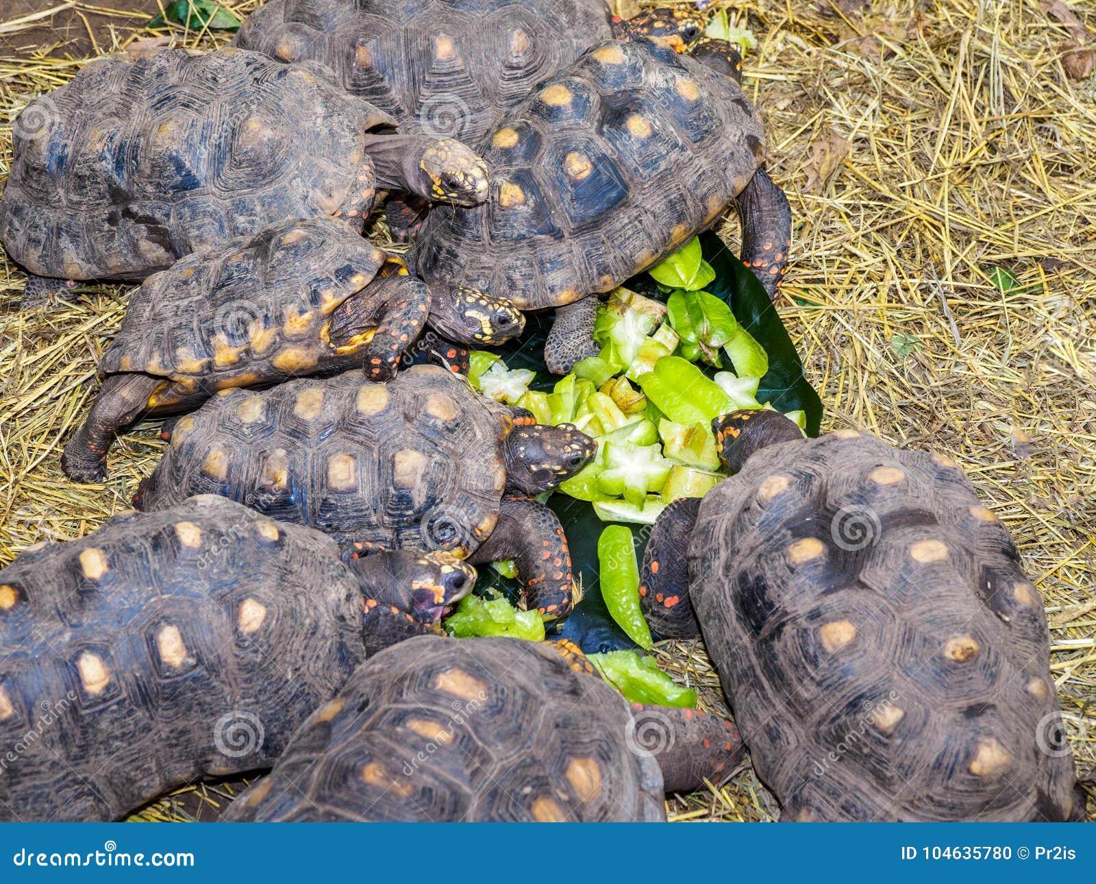 Download Schildpadden Die Op Sterfruit Voeden Stock Foto - Afbeelding bestaande uit gras, tortoise: 104635780
