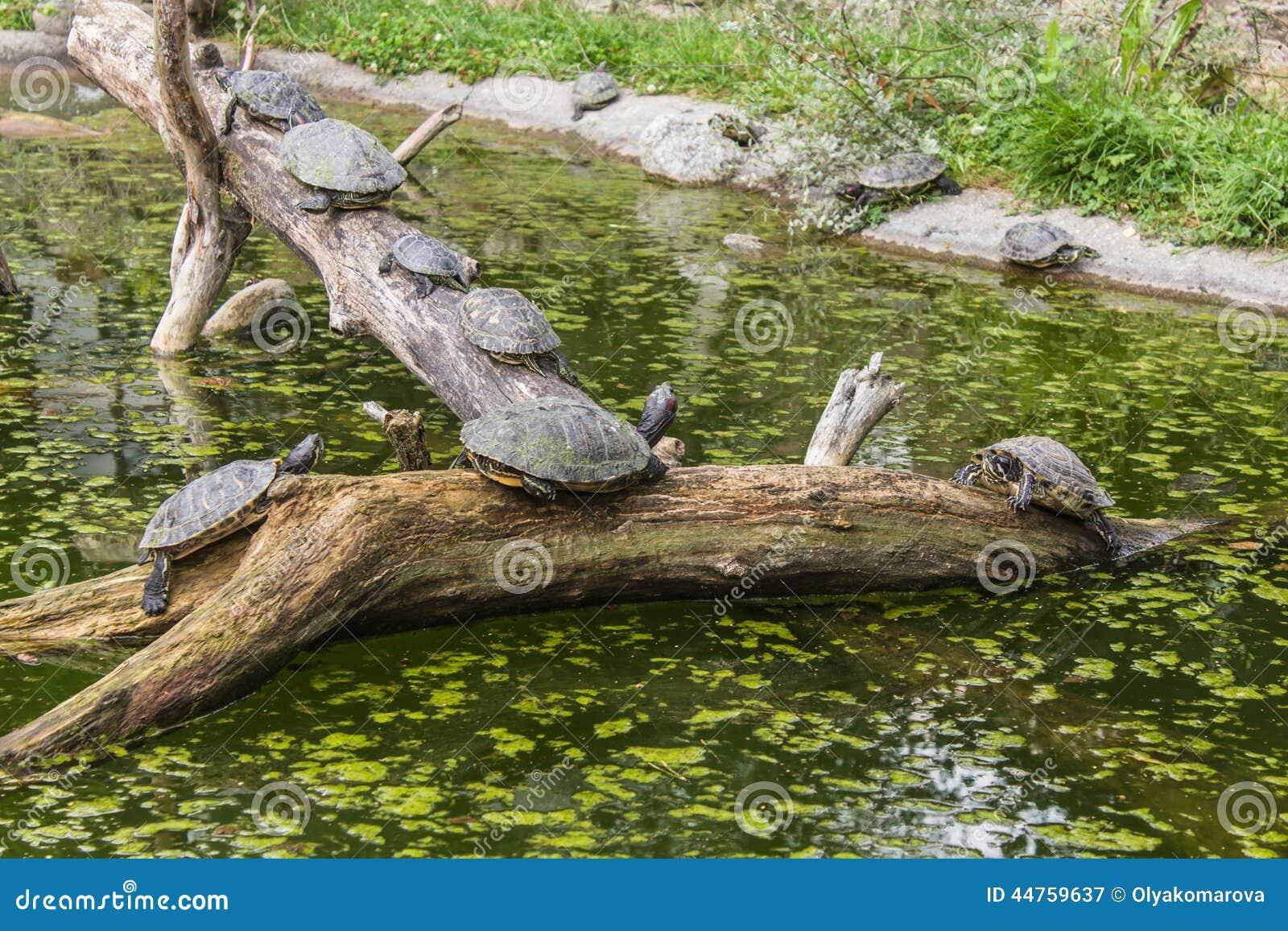 Schildpadden op login een vijver stock afbeelding for Een vijver