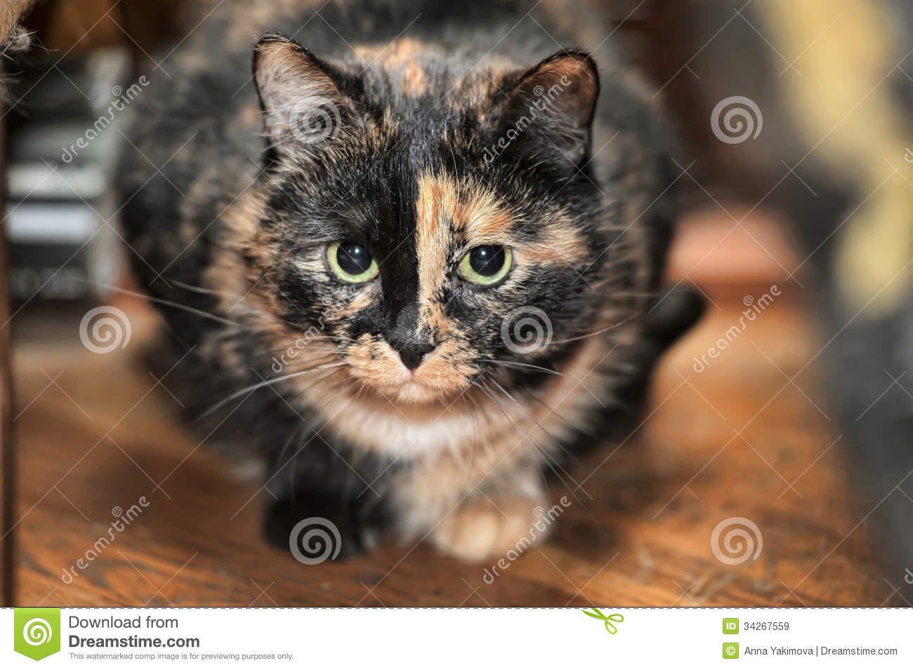 Long Haired Tortoiseshell Cat Pictures