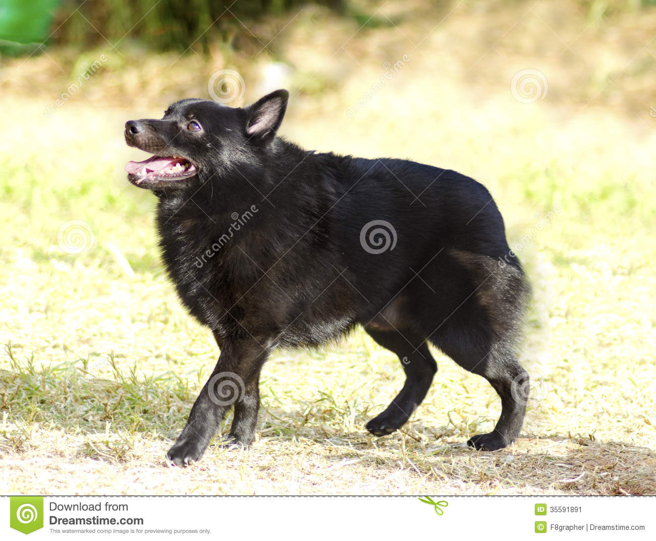 Schipperke Royalty Free Stock Images - Image: 35887649