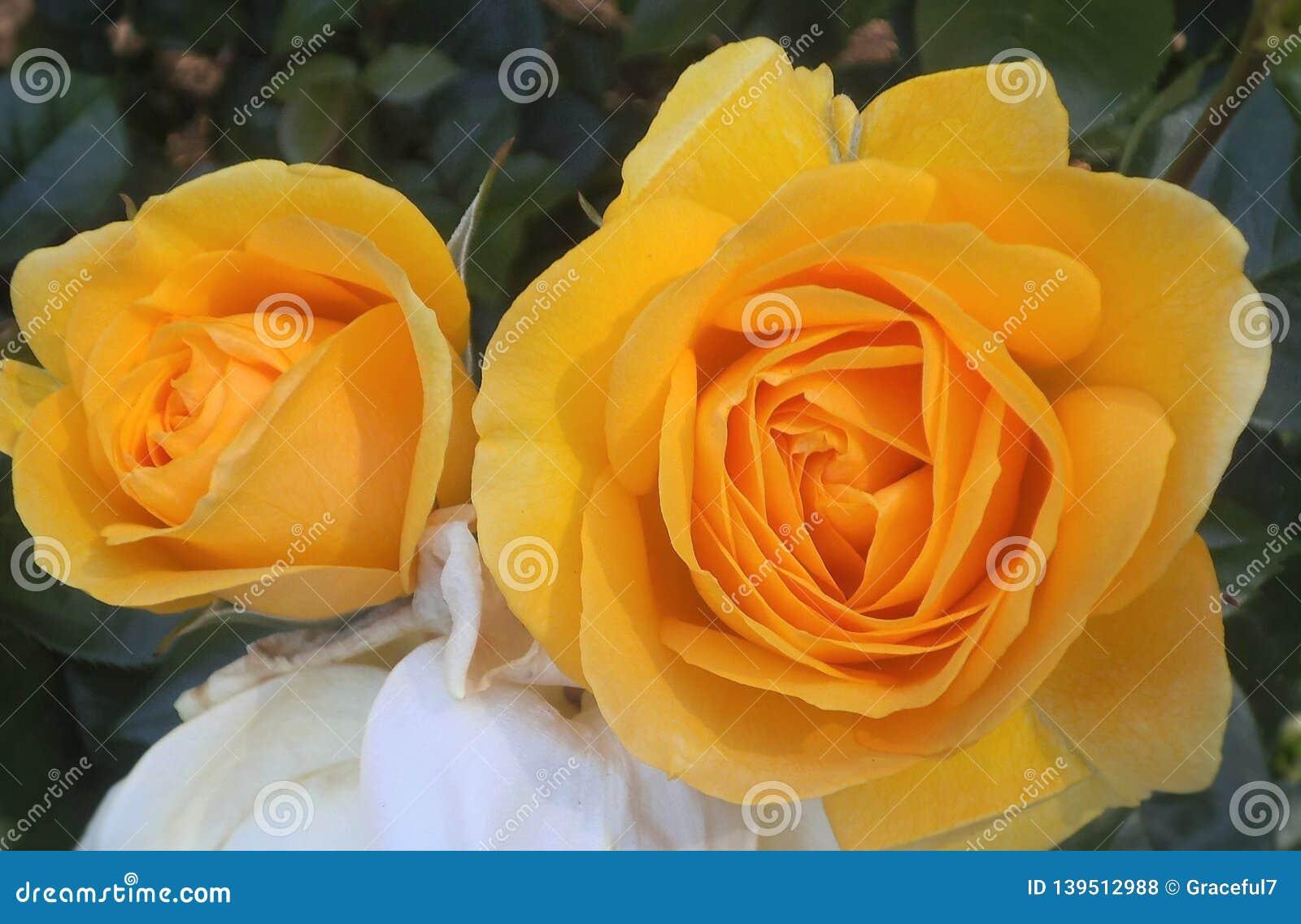 Schitterende Heldere & Aantrekkelijke Gele Rose Flowers Blossom At B C Parktuin Canada in de Zomer van 2018