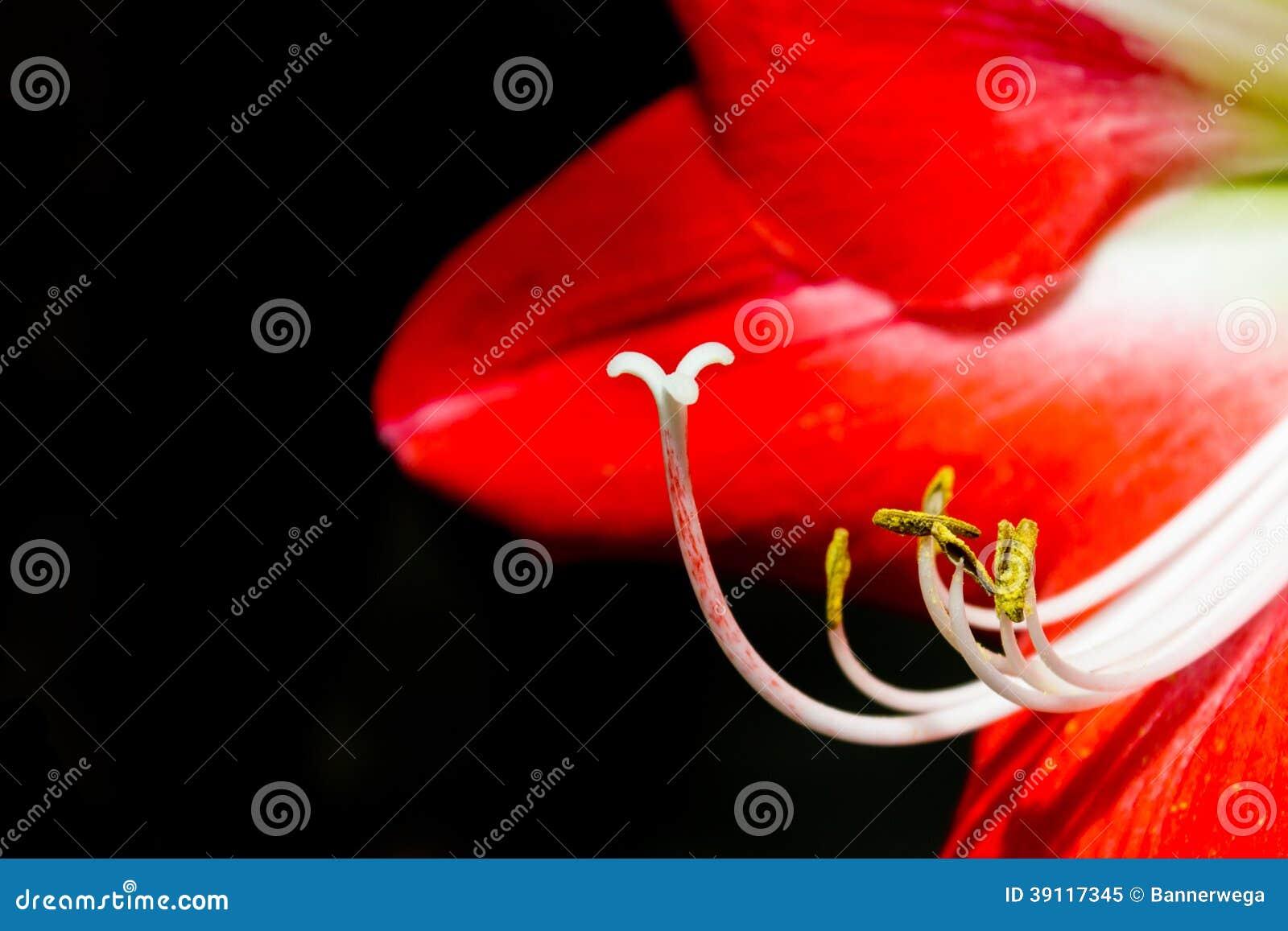 Schitterende oranje Hippeastrum-bloem
