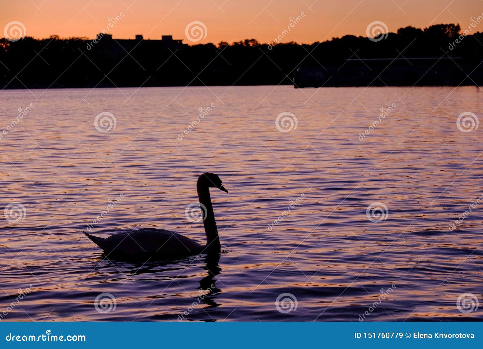 Schitterende witte zwaan op het meer op de zonsondergang