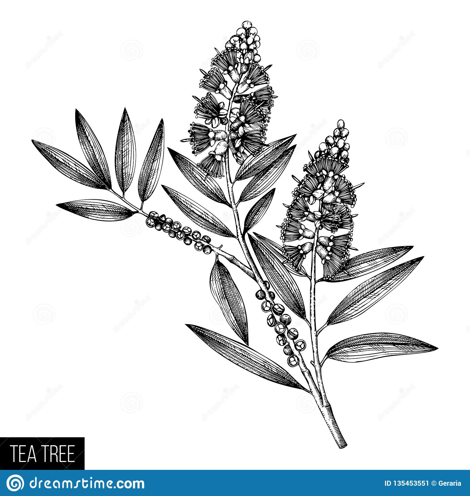 Schizzi verde oliva del tè del tè disegnato a mano dell albero su fondo bianco Cosmetici e pianta medica del mirto Dott. botanico