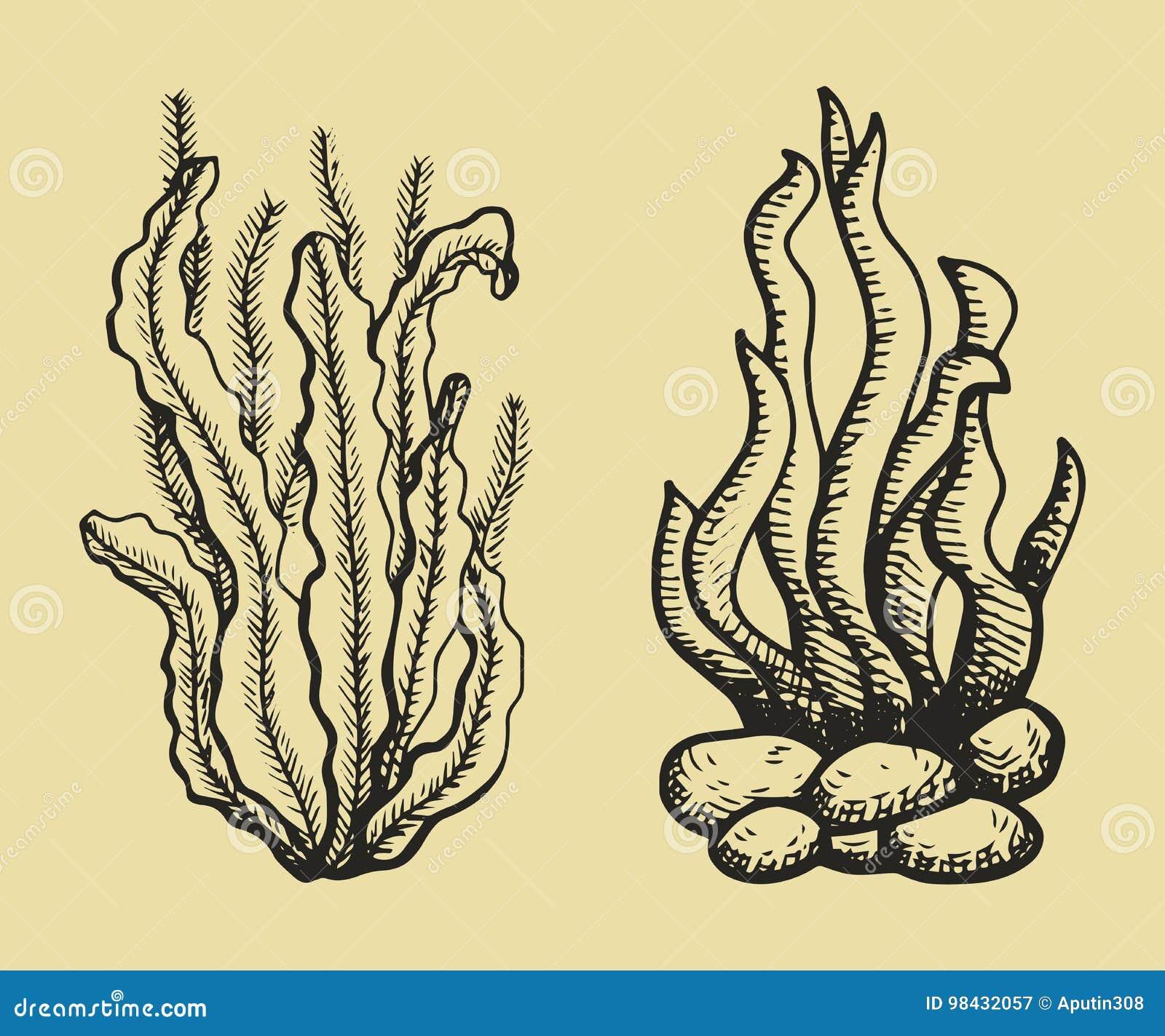 Schizzo Di Vettore Delle Alghe Illustrazione Del Disegno Della Mano