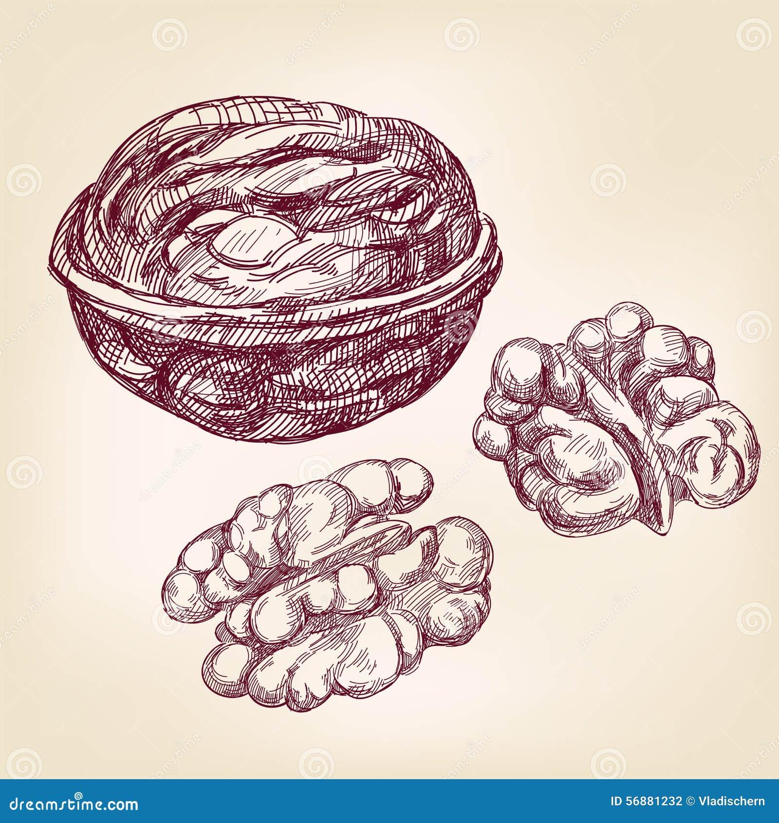 Schizzo disegnato a mano dell illustrazione di vettore delle noci