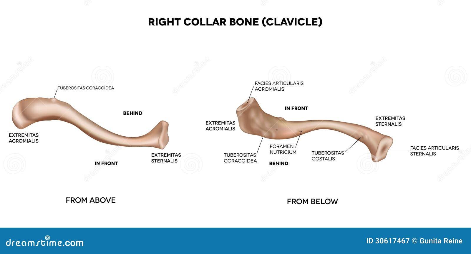 Schlüsselbein - Clavicula || Med-koM