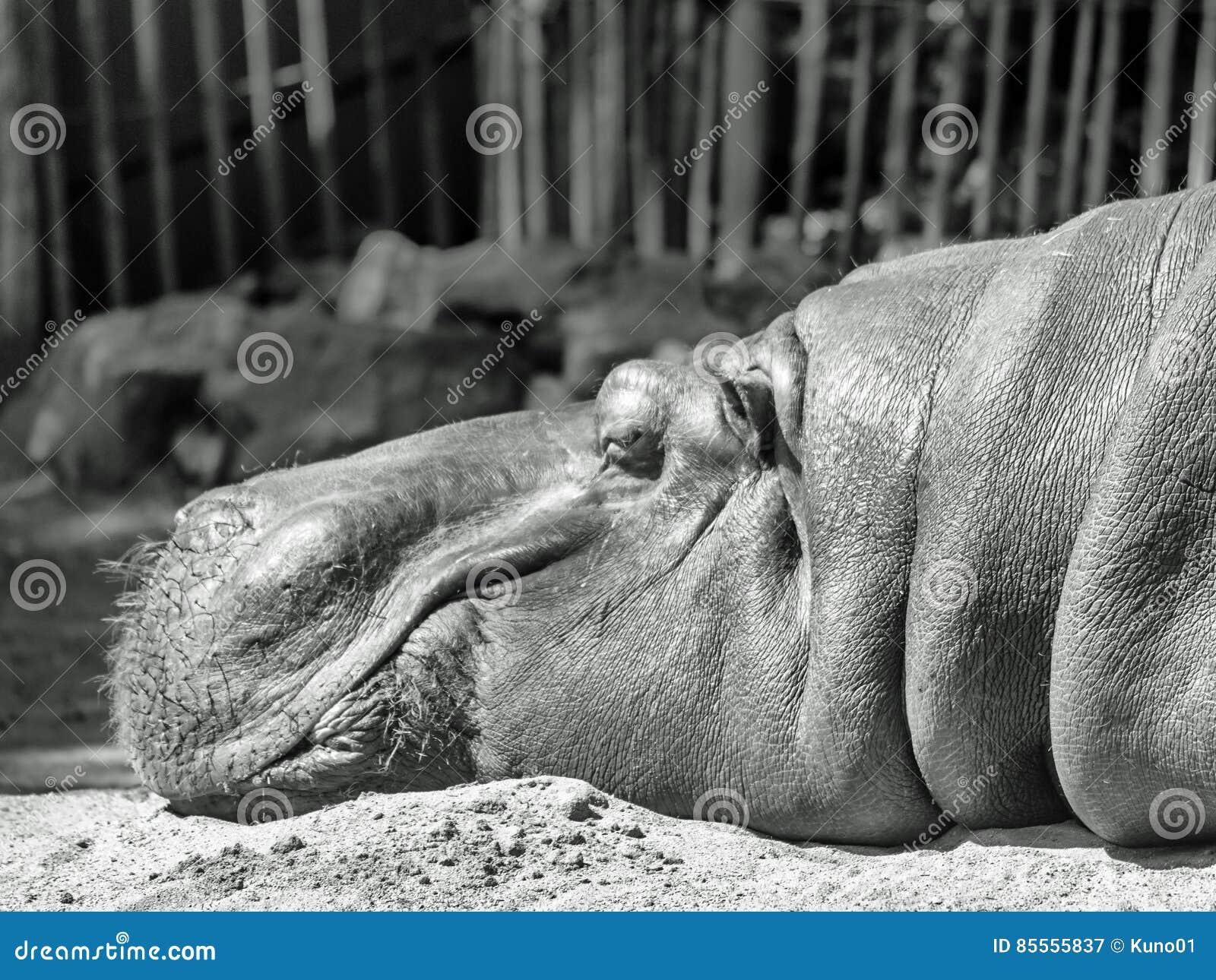 Schläfriges Flusspferd im monochrom