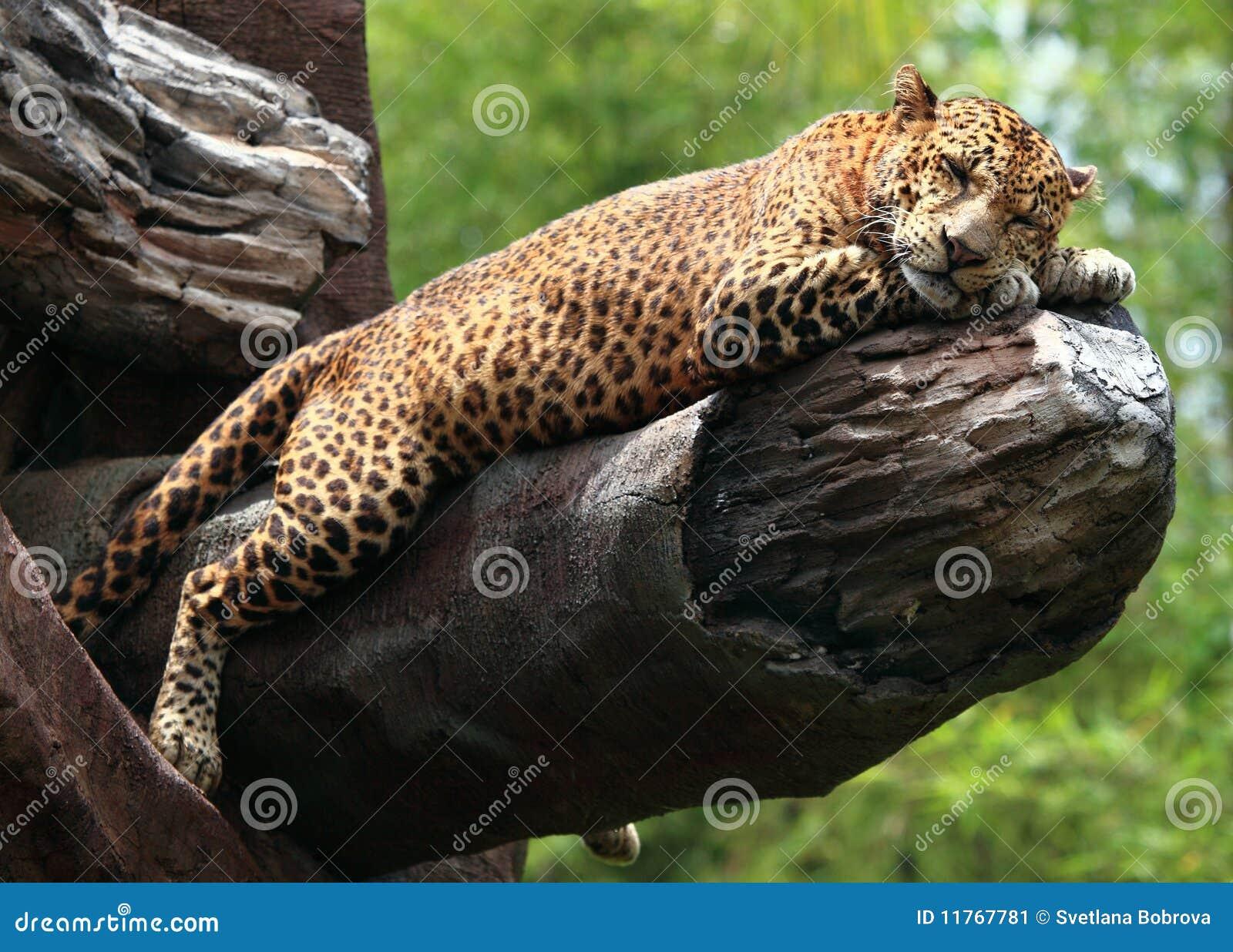 Schlafenleopard