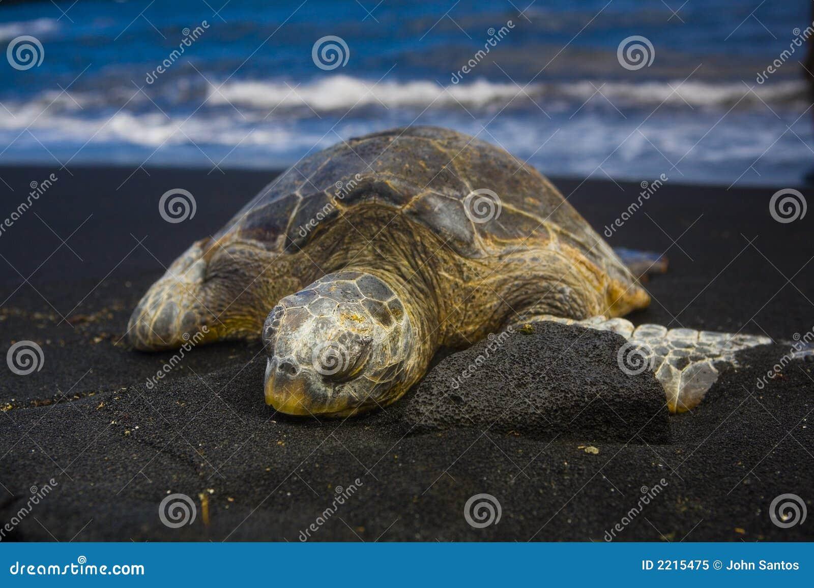 Schlafenschildkröte