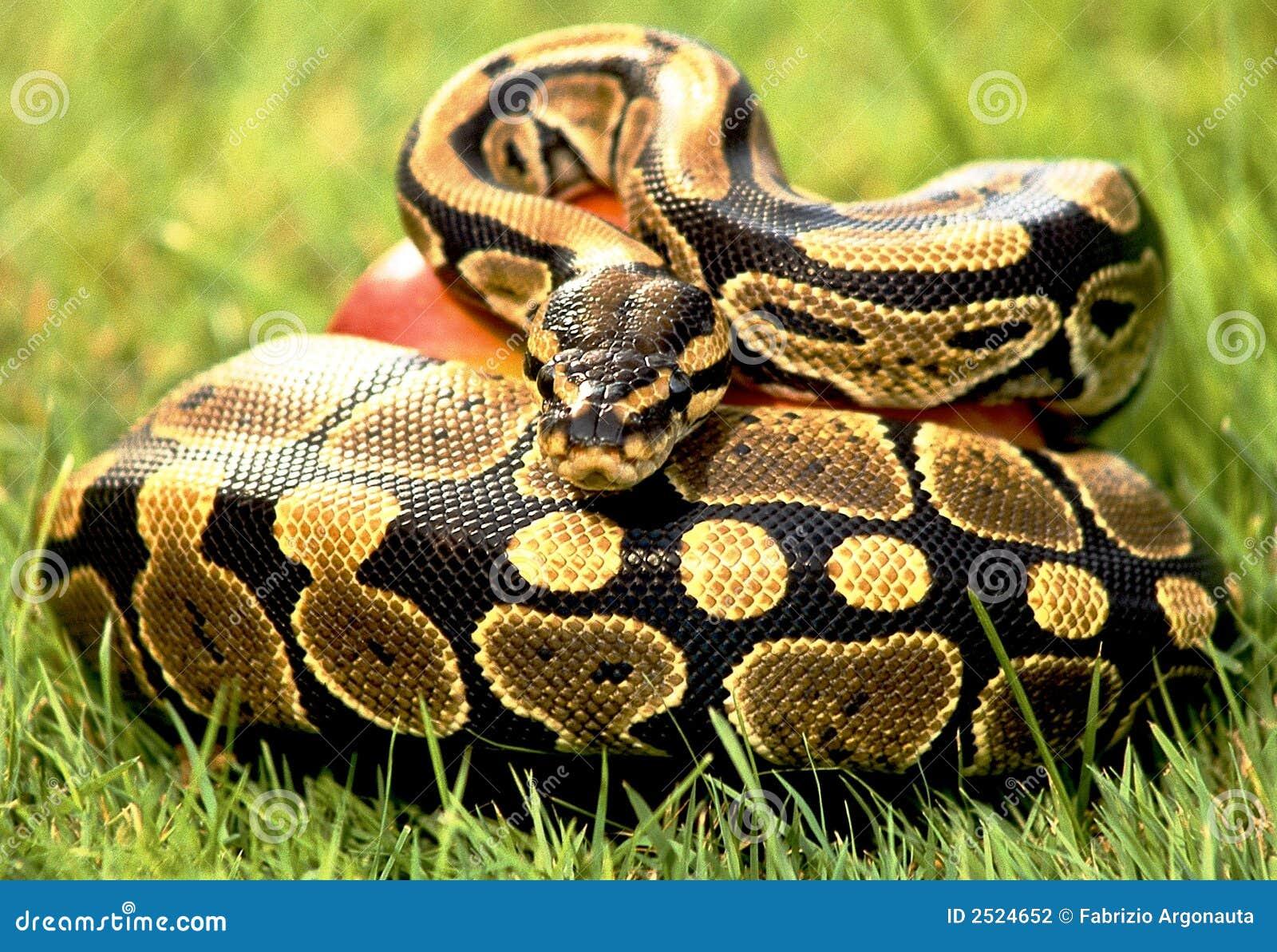Schlangepythonschlange