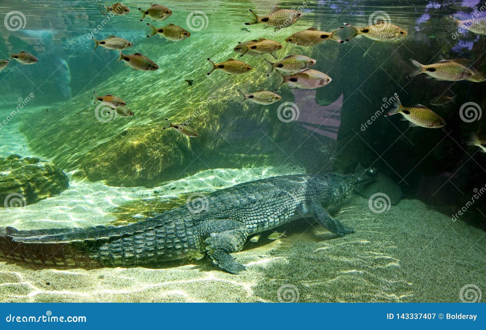 Schlegelii gharial rocodile do Tomistoma do ¡ de Ð O focinho estreito que é mais longo do que a largura na base é 3-4 5 vezes