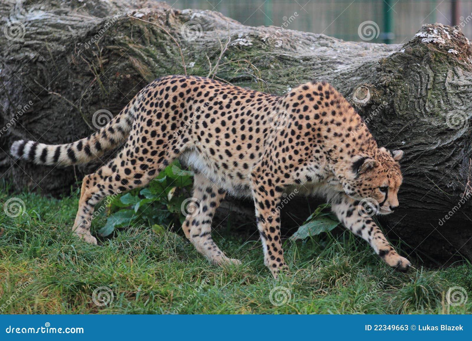 Schlendernder Gepard