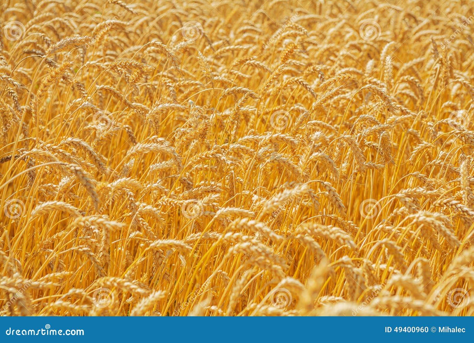 Download Schließen Sie Herauf Ansicht über Whaet Stockfoto - Bild von bauernhof, field: 49400960