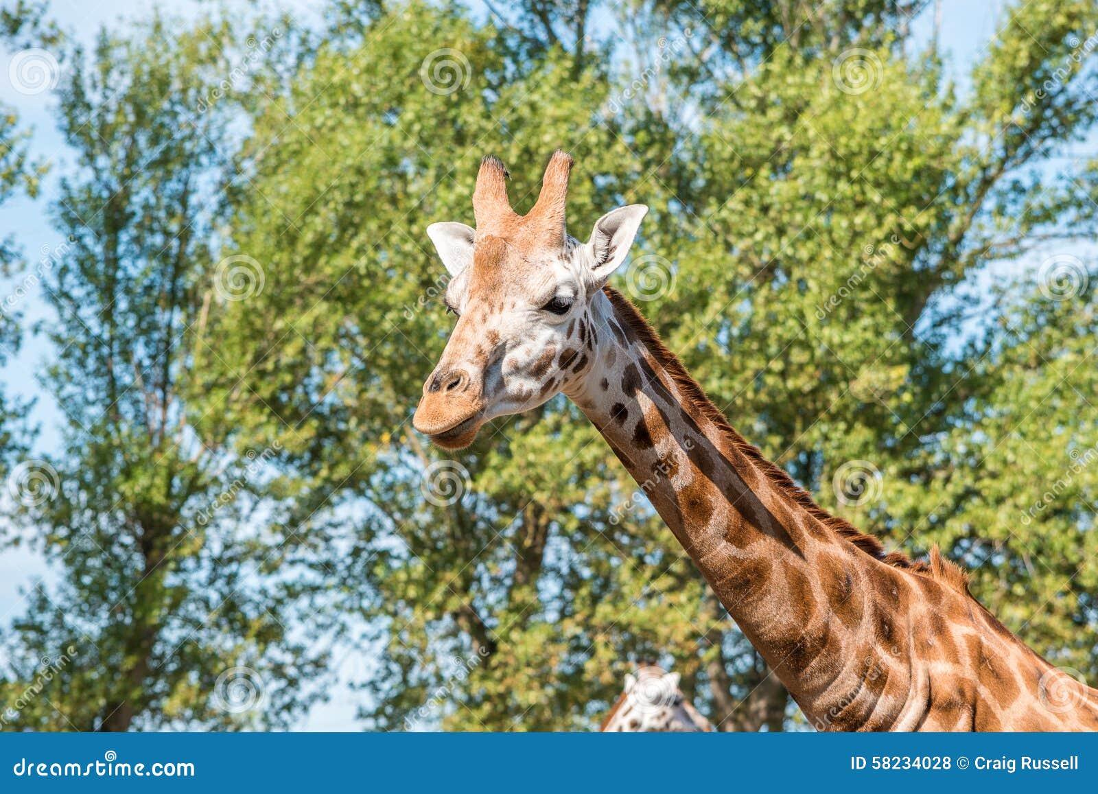 Schließen Sie herauf Foto einer Rothschild-Giraffe