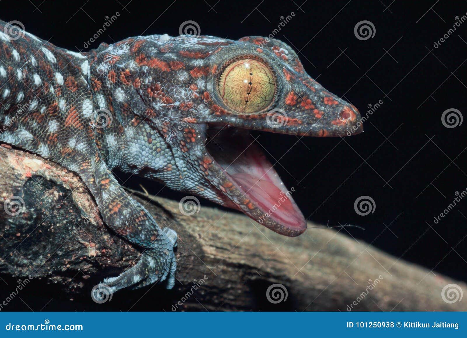 Schließen Sie herauf Gecko