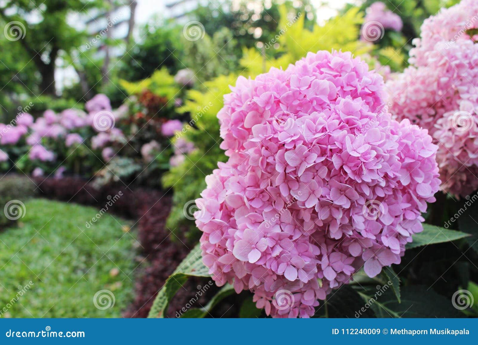 Schließen Sie herauf schöne rosa Farben von den Hortensie-Blumen, die auf grünem Blatt und multi Farbhintergrund blühen