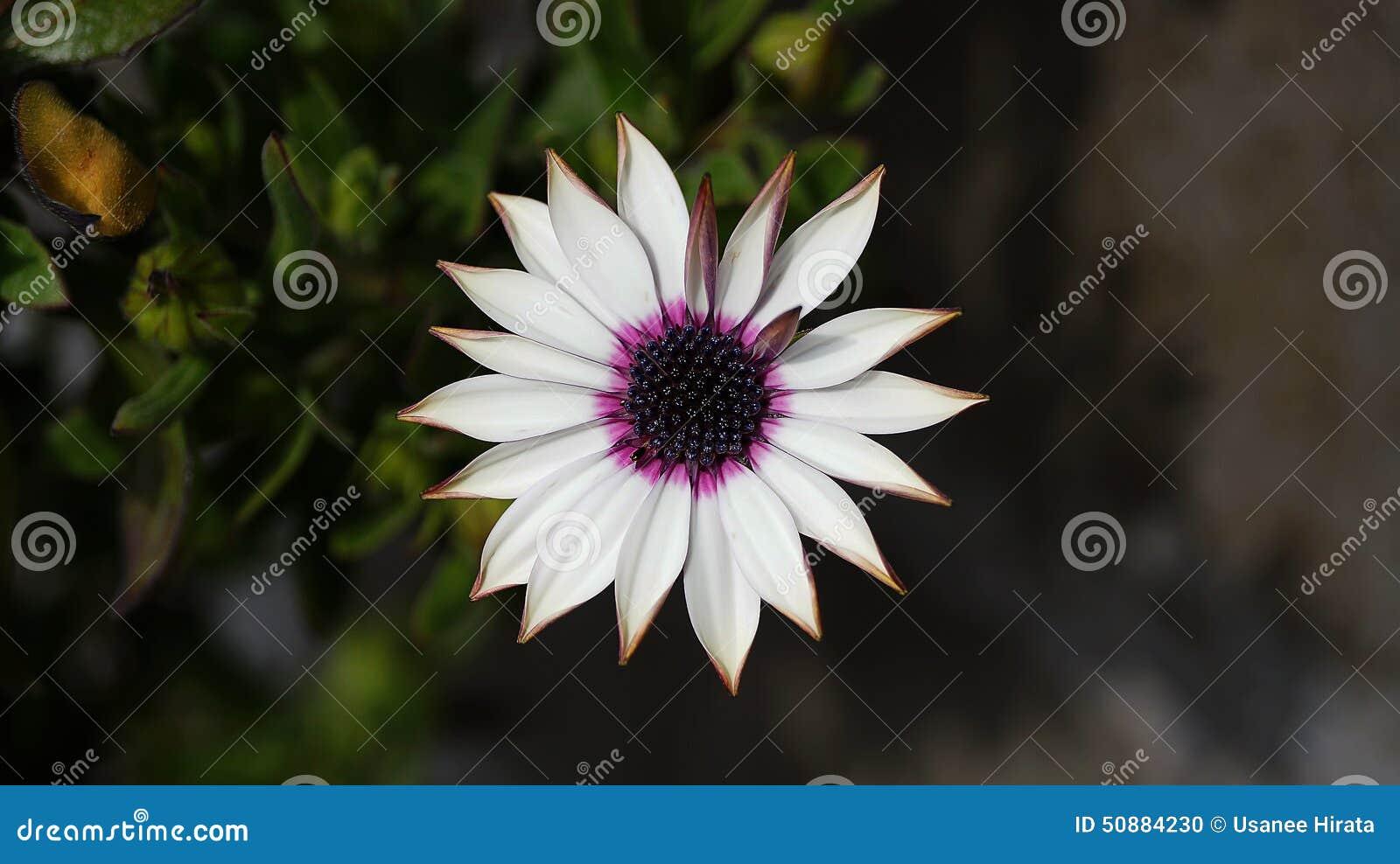 Schließen Sie herauf schöne violette Blume afrikanischen Gänseblümchens Osteospermum
